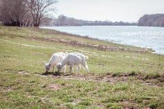 Deux petites chèvres frôlent sur le champ Près du fleuve Ciel clair Image libre de droits