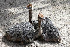 Deux petites filles d'autruche se trouvent au sol photos libres de droits