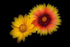 Deux petites fleurs de dahlia images stock