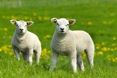 Deux petits agneaux Images libres de droits