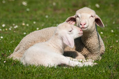 Deux petits agneaux Images stock