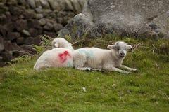 Deux petits agneaux Photographie stock