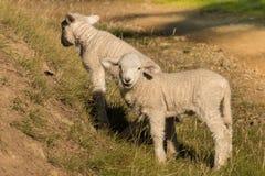 Deux petits agneaux frôlant sur la pente Photo stock