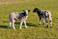 Deux petits agneaux repérés noirs sur l'herbe Photos libres de droits