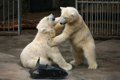 Deux petits animaux d'ours blanc Photo stock