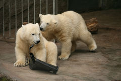 Deux petits animaux d'ours blanc Image libre de droits