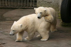 Deux petits animaux d'ours blanc Image stock