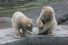 Deux petits animaux d'ours blanc Images stock
