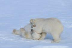 Deux petits animaux d'ours blanc jouant ensemble sur la glace Photo stock