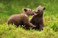 Deux petits animaux d'ours brun jouent le combat dans la forêt Image stock
