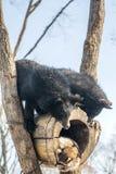 Deux petits animaux d'ours jouent dans un arbre avec des ratons laveurs, ratons laveurs courus loin avec du bois des ours images stock