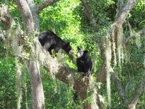 Deux petits animaux d'ours noir jouant dans un arbre Photo stock