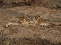Petits animaux de lion Photographie stock libre de droits