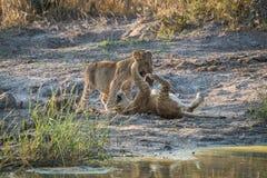 Deux petits animaux de lion jouant par le trou d'eau Image libre de droits