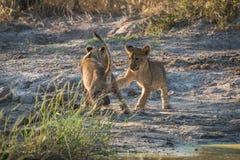 Deux petits animaux de lion jouant sur la terre poussiéreuse Photographie stock libre de droits