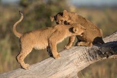 Deux petits animaux de lion jouant sur un arbre tombé dans Savute photo libre de droits