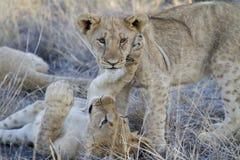 Deux petits animaux de lion mignons Image stock