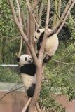 Deux petits animaux de pandas géants jouant sur l'arbre Photographie stock libre de droits