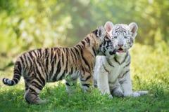 Deux petits animaux de tigre adorables dehors Image stock