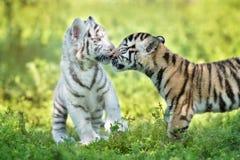 Deux petits animaux de tigre adorables dehors ensemble Photo stock