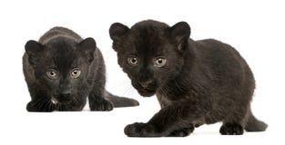 Deux petits animaux noirs de léopard, 3 semaines de, rôdant et regardant fixement photographie stock libre de droits