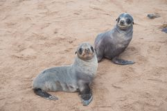 Deux petits bébés de joint de lion Photographie stock libre de droits