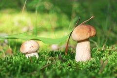 Deux petits cèpes dans la mousse Photo stock