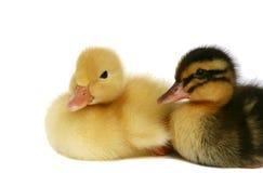 Deux petits canards ensemble Image libre de droits