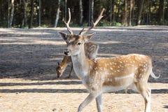 Deux petits cerfs communs Photographie stock libre de droits