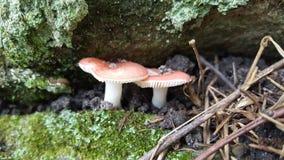 Deux petits champignons rouges et blancs luttent pour l'espace entre deux roches Photographie stock