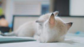 Deux petits chatons blancs de minou jouent le combat sur la vidéo drôle de lit chaton blanc des chats deux jouant la morsure de m banque de vidéos