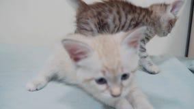 Deux petits chatons blancs de minou jouent le combat sur la vidéo drôle de lit chaton blanc des chats deux jouant des sommeils po banque de vidéos