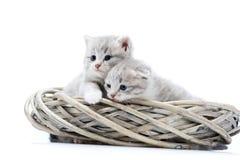 Deux petits chatons pelucheux nouveau-nés aux yeux bleus étant curieux et regardant au côté tout en jouant en guirlande en osier  Images libres de droits