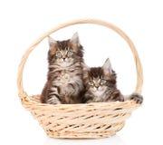 Deux petits chats de ragondin du Maine se reposant dans le panier D'isolement sur le blanc Photos libres de droits
