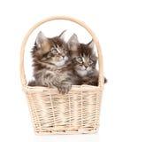 Deux petits chats de ragondin du Maine se reposant dans le panier D'isolement sur le blanc Photo libre de droits