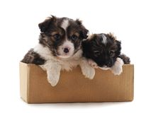 Deux petits chiens dans la boîte photos stock