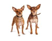 Deux petits chiens de chiwawa se tenant sur le blanc Photographie stock