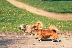 Deux petits chiens marchant par le parc Photographie stock