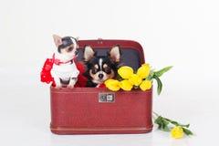Deux petits chiens se reposent dans la boîte avec les tulipes jaunes Image libre de droits