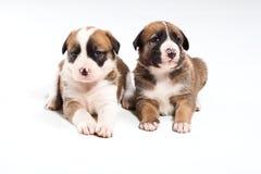 Deux petits chiots Photo libre de droits