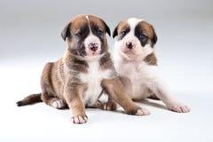 Deux petits chiots Photographie stock libre de droits