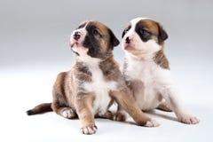 Deux petits chiots Photos stock