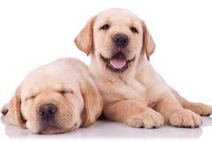 Deux petits chiots adorables de chien d'arrêt de Labrador Image stock
