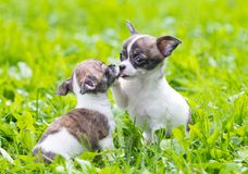 Deux petits chiots de chiwawa Photo stock