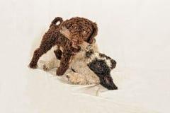Deux petits chiots espagnols de l'eau de chien luttant pour un jouet photographie stock libre de droits