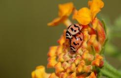 Deux petits coléoptères Image libre de droits