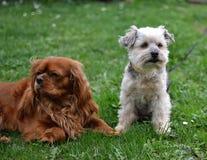 Deux petits de chiens amis ensemble Photo stock