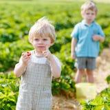 Deux petits garçons d'enfant en bas âge d'enfant de mêmes parents sur la fraise cultivent en été Photo stock