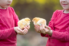 Deux petits garçons, tenant de petits poussins nouveau-nés Image libre de droits