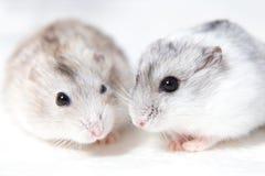 Deux petits hamsters sur une table Photo stock
